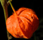 Lampionblume Frucht orange Physalis alkekengi 31