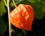 Lampionblume Frucht orange Physalis alkekengi 35