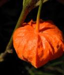 Lampionblume Frucht orange Physalis alkekengi 36