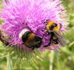 Lanzett Kratzdistel Bluete violett Cirsium vulgare 03