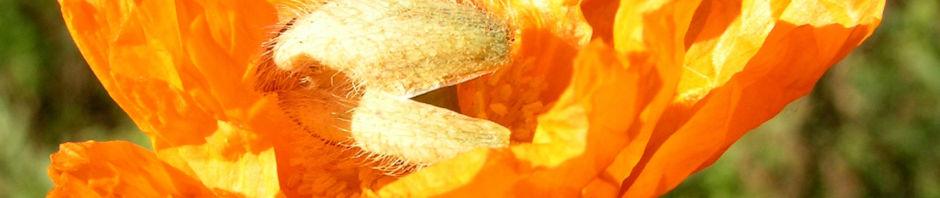 lapplaendischer-mohn-bluete-orange-papaver-lapponicum