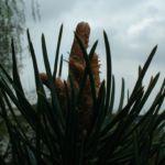 Latsche Pinus mugo 04
