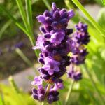 Lavendel Bluete lila Lavandula angustifolia 02
