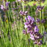 Lavendel Bluete lila Lavandula angustifolia 08