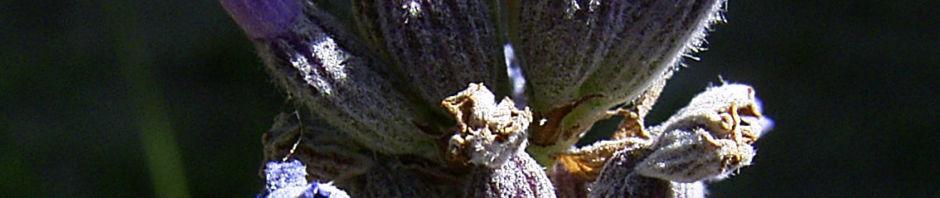 lavendel-blueten-blau-lila-lavandula-angustifolia