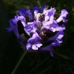 Lavendel Blueten Lavandula angustifolia 05