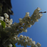 Lavendelheide Bluete weiss Pieris japonica 09