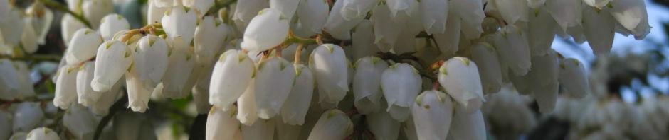 lavendelheide-blatt-rot-bluete-weiss-pieris-japonica