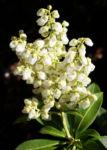 Lavendelheide Strauch Bluete weiss Pieris japonica 05