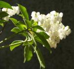 Lavendelheide Strauch Bluete weiss Pieris japonica 10
