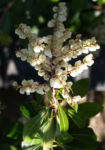 Lavendelheide Strauch Bluete weiss Pieris japonica 14