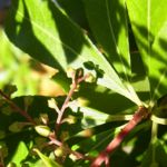 Lavendelheide gruen Pieris japonica 01