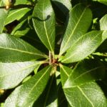 Lavendelheide gruen Pieris japonica 03