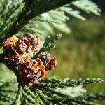 Lawsons Scheinzypresse Chamaecyparis lawsoniana 04
