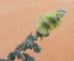 Leafless Bluebush Blatt silber Bluete hellgelb Maireana aphylla 09