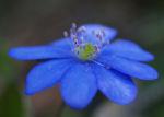 Leberbluemchen Bluete blau Hepatica nobilis 02