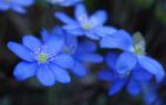 Leberbluemchen Bluete blau Hepatica nobilis 05