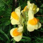 Leinkraut Linaria vulgaris 02