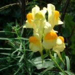 Leinkraut Linaria vulgaris 03