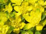 Leuchtendgelbe Wolfsmilch Scheinbluete gelb Euphorbia epithymoides 02