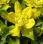 Leuchtendgelbe Wolfsmilch Scheinbluete gelb Euphorbia epithymoides 04