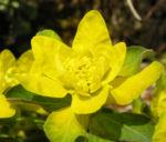Leuchtendgelbe Wolfsmilch Scheinbluete gelb Euphorbia epithymoides 06