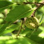 Libanon Eiche Baum Ostrya carpinifolia 01
