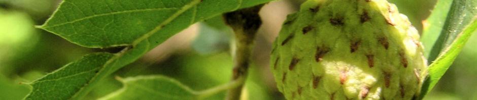 europaeische-hopfenbuche-baum-laub-gruen-ostrya-carpinifolia