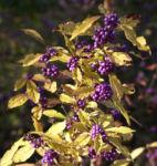 Liebesperlen Strauch Frucht violett Callicarpa japonica 03