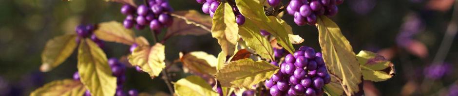 liebesperlenstrauch-frucht-violett-callicarpa-japonica