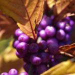 Liebesperlen Strauch Frucht violett Callicarpa japonica 04