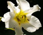 Lilie Bluete weiss Lilium auratum 01
