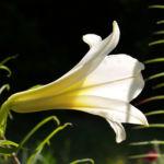 Lilie Bluete weiss Lilium auratum 04