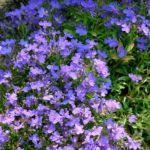 Lobelie blau Lobelia erinus 02