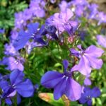 Lobelie blau Lobelia erinus 04