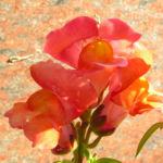 Loewenmaeulchen Bluete rot orange Antirrhinum majus 2