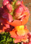 Loewenmaeulchen Bluete rot orange Antirrhinum majus 3