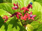 Losbaum Bluete rot Frucht blau Clerodendrum trichotomum 04