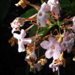 Luculia Sweet Busch Bluete rose Luculia gratissima 02