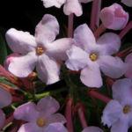 Luculia Sweet Busch Bluete rose Luculia gratissima 04