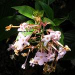 Luculia Sweet Busch Bluete rose Luculia gratissima 07