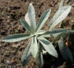 Ludwigs Beifuss Blatt weisslich Artemisia udoviciana 02