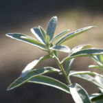 Ludwigs Beifuss Blatt weisslich Artemisia udoviciana 06