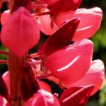 Lupine Bluete rot Lupinus 08