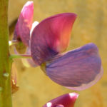 Lupine Bluete rotblau Lupinus 02