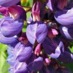 Lupine Bluete rotblau Lupinus 06