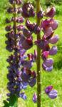 Lupine Bluete rotblau Lupinus 07