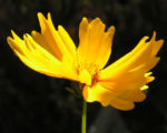 Maedchenauge Bluete gelb Coreopsis lanceolata 01