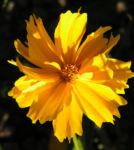 Maedchenauge Bluete gelb Coreopsis lanceolata 06