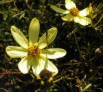 Maedchenauge Bluete hell gelb Coreopsis verticillata 01